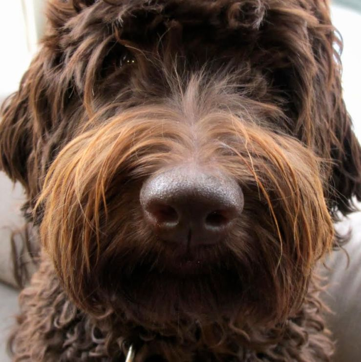 A brown labradoodle